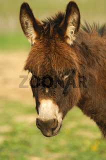 Hausesel (Equus asinus asinus) mit aufgestellten Ohren
