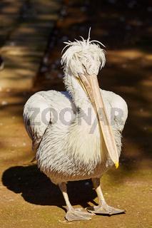 Pelikan im Zoo von Batumi, Georgien