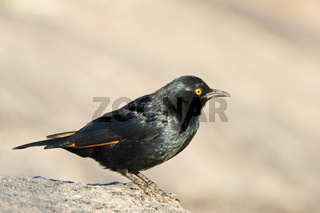 Rotschulterstaerling, Agelaius phoeniceus, Namibia, Afrika, Red-winged Blackbird, Africa