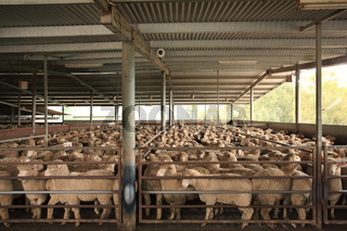 Sheep in holding pens