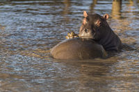 Nilpferd (Hippopotamus amphibius) Jungtier