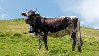 Kuh auf der Nagelfluhkette