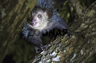 Aye-Aye,  Fingertier, (Daubentonia madagascariensis), Ankanin Ny Nofy, Madagaskar