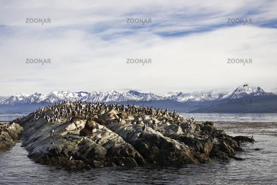 Kormorankolonie (Phalacrocorax) am Beagle Kanal, Feuerland, Cormorant group Beagle-Channel, Argentina
