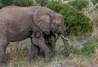 Elefant mit seinem Jungen