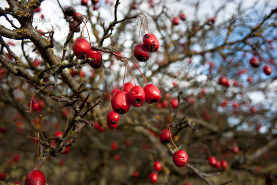 Atemberaubend Foto rote Beeren am Baum V1 Bild #1861962 #CX_72