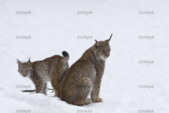 Europäischer Luchs (Lynx lynx) im Schnee