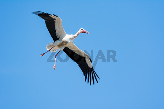 Flying white stork with blue sky