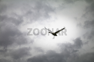 Schwan (Cygnus olor) im Flug