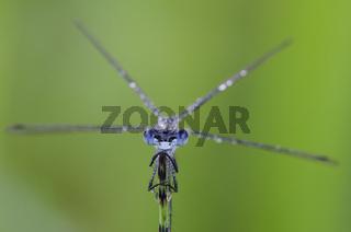 Gemeine Binsenjungfer / Emerald Damselfly / Lestes sponsa