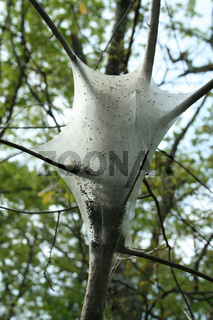 an image of a Gypsy moth nest