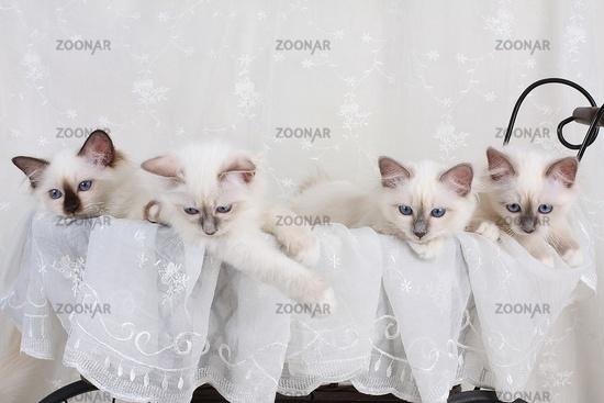 HEILIGE BIRMA KATZE, BIRMAKATZE, SACRED CAT OF BIRMA, BIRMAN CAT, LITTER, KITTEN, WURF,