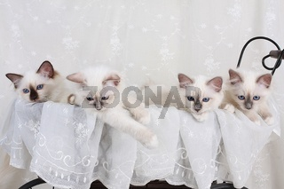HEILIGE BIRMA KATZE, BIRMAKATZE, SACRED CAT OF BIRMA, BIRMAN CAT, LITTER, KITTEN, WURF,
