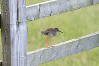 Redshank Perched On a Gate