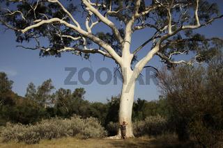 Der gršsste Geistereukalyptus  (Eucalyptus papuana) im Trephina Gorge Nature Park in den East MacDonnell Ranges