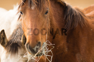 Wild Horse Face Portrait Close Up American Animal