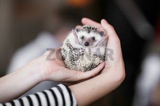 Set. small prickly hedgehog in the hands of people