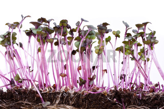 closeup of a row of red cabbage sprouts