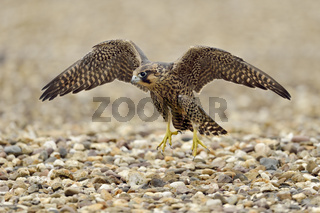 junger Wanderfalke... Wanderfalke *Falco peregrinus* junger Terzel trainiert die Flugmuskulatur