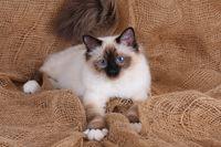 HEILIGE BIRMA KATZE, BIRMAKATZE, SACRED CAT OF BIRMA, BIRMAN CAT, SEAL-POINT,