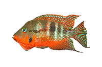 Mexican Fire Mouth (Thorichthys meeki) - male, isolated