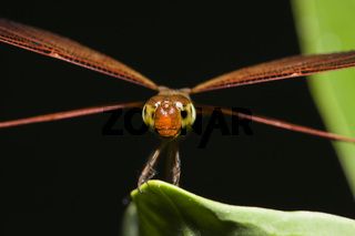Libelle, Odonata, Insel Peleliu, Mikronesien, Palau, Dragonfly, Odonata, Peleliu Island, Micronesia