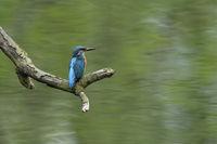 der Herr wacht über sein Revier... Eisvogel *Alcedo atthis* im Frühling auf Ansitzast dicht über der Wasseroberfläche