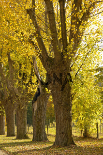 Allee mit Schwarzpappeln Populus nigra im Herbst (Baum des Jahres 2006) im botanischen Garten der Universität Hohenheim