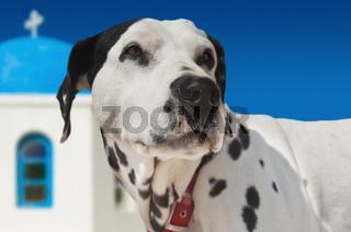 Dog on Santorini island