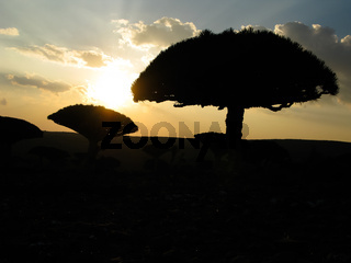 Contre-jour view to Dragon tree forest at plateau Dixam , endemic plant of Socotra island, Yemen