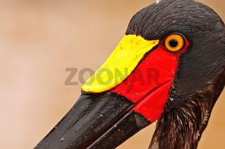 Kopf eines weiblichen Sattelstorchs, Kruger NP, Südafrika, head of female a saddle-bill stork, South Africa