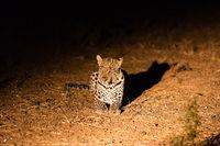 Leopard (Panthera pardus), Afrika, Botswana, Tuli Block