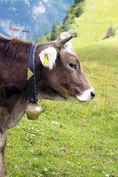 Rinder Portrait, Cattle Portrait