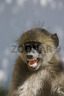 Junger Steppenpavian, Pavian (Papio cynocephalus), Namibia, Afrika, young Yellow Baboon, Africa