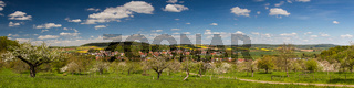 Panorama of apple tree blossom in spring
