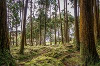 trees overgrown with moss at fumarolas da lagoa das furnas