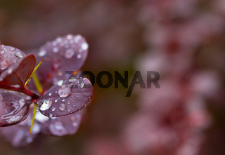 Wet twig of red barberry with water drops on leaves