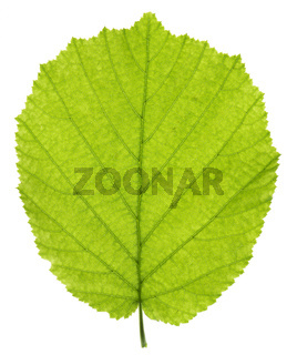 single leaf of hazelnut tree isolated over white background