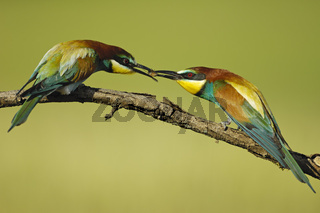 Bienenfresser bei der Balzfuetterung, Merops apiaster,  Bee-eaters at the courtship feeding