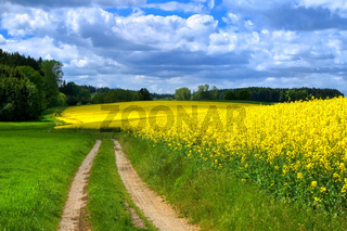 Flowering canola field on a stormy summer day in Bavaria, Germany