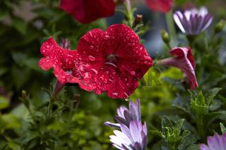 Geranie nach Sommerregen