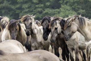 Friedliches Verstehen, wild lebende Pferde im Merfelder Bruch, Dülmen, Nordrhein-Westfalen, Juni,