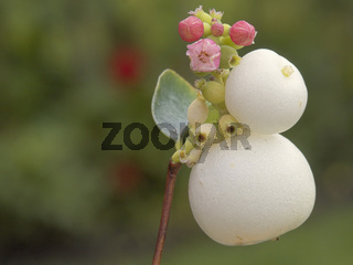 Snowberry Flowers Fruit and Bud Horizontal