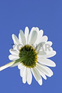 Magerwiesen-Margerite, Wiesen-Margerite oder Wiesen-Wucherblume (Leucanthemum vulgare), marguerite, oxeye daisy