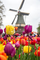 Fabulous landscape of windmill and tulips in Holland