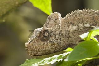 warzenchamaeleon, furcifer verrucosus, Madagaskar, Afrika, Chameleon, Madagascar, Africa