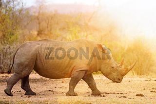 Breitmaulnashorn läuft ins Licht, im Kruger Nationalpark, Südafrika, white rhinoceros, South Africa