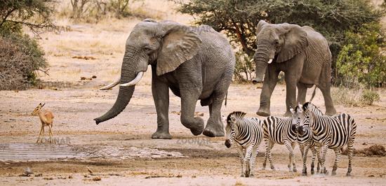 Elefanten am Wasserloch im Kruger Nationalpark Südafrika; african elephants at a waterhole, south africa, wildlife