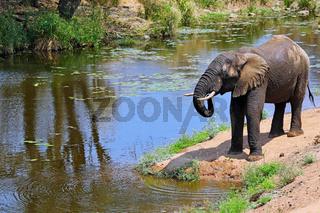 Elefant am Flussufer im Kruger Nationalpark Südafrika; african elephant at a river, Kruger NP, south africa, wildlife