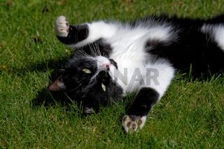 Junge Katze spielt im Gras
